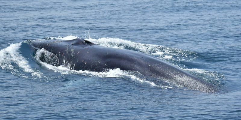 Fotografía de un rorcual común, ballena por detrás en la bahia de Algeciras