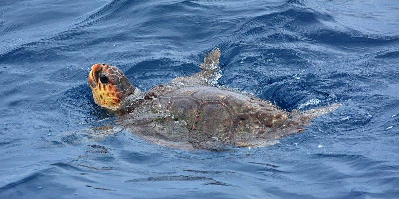 Fotografía de una tortuga boba descansando en superficie en la Bahía de Algeciras